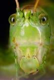 Gesicht der grünen Heuschrecke Stockbilder