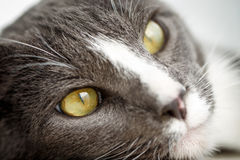 Gesicht der Katze Lizenzfreie Stockfotografie
