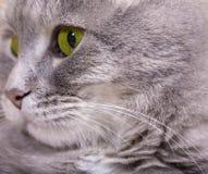 Gesicht der Katze, die auf dem links schaut Stockfotografie