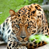 Gesicht der Leopardnahaufnahme anstarrend entlang der Kamera Stockbilder