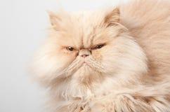 Gesicht der persischen Katze Lizenzfreie Stockbilder