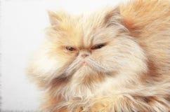Gesicht der persischen Katze Stockfoto