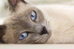 Gesicht der siamesischen Entspannung Stockfoto