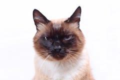 Gesicht der siamesischen Katze Lizenzfreies Stockbild