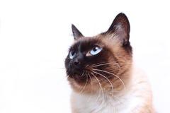 Gesicht der siamesischen Katze Stockfotos