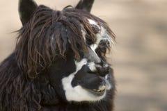 Gesicht des Alpakas Stockbilder