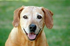 Gesicht des alten Hundes stockbild