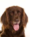 Gesicht des braunen langhaarigen Zeigerhundes lizenzfreies stockfoto
