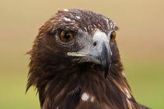 Gesicht des goldenen Adlers Stockbilder