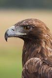 Gesicht des goldenen Adlers Lizenzfreie Stockbilder
