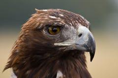 Gesicht des goldenen Adlers Lizenzfreie Stockfotos