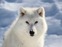 Gesicht des großen arktischen Wolfs Stockbilder