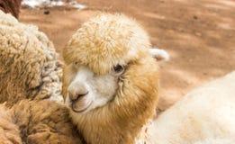 Gesicht des langen Haares der Schafe Lizenzfreie Stockfotografie