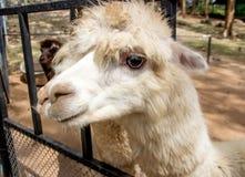 Gesicht des langen Haares der Schafe Lizenzfreies Stockfoto