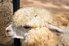 Gesicht des langen Haares der Schafe Stockfoto