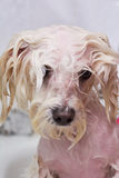 Gesicht des nassen Hundes lizenzfreies stockbild