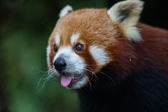 Gesicht des netten roten Pandas stockfoto
