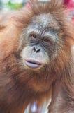Gesicht des Orang-Utans Stockfotos