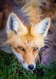 Gesicht des roten Fuchses mit Durchdringungsaugen Lizenzfreies Stockbild