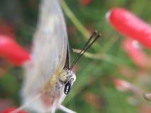 Gesicht des Schmetterlinges Stockfotos