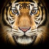 Gesicht des sibirischen Tigers Stockbild