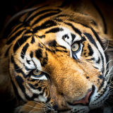 Gesicht des sibirischen Tigers Lizenzfreie Stockbilder