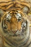 Gesicht des sibirischen Tigers im Dschungel Lizenzfreie Stockfotografie