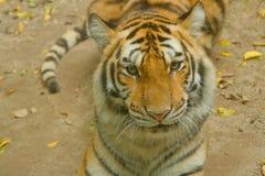 Gesicht des sibirischen Tigers im Dschungel Stockfotografie