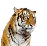 Gesicht des Tigers Stockfotografie