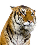 Gesicht des Tigers Lizenzfreies Stockbild