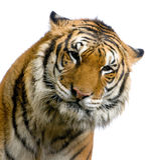 Gesicht des Tigers Lizenzfreie Stockfotografie