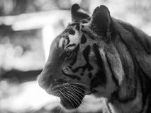 Gesicht des Tigers Stockfotos