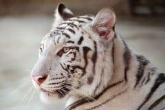 Gesicht des weißen Tigers Lizenzfreies Stockfoto