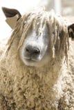 Gesicht des Wooly Schafs Stockfotos