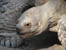 Gesicht einer Schildkröte stockfotografie