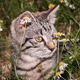 Gesicht einer wachsamen Katze Stockbilder