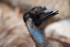 Gesicht eines blauen Emus mit schwarzen Federn Lizenzfreies Stockbild