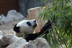 Gesicht eines großen Pandas Stockfotos