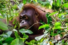 Gesicht eines Orang-Utans, der durch die Blätter erscheint Lizenzfreies Stockbild
