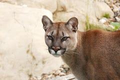 Gesicht eines Pumas Stockbilder