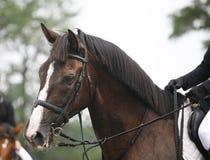 Gesicht eines schönen reinrassigen Rennpferds auf dem springenden competitio Stockbild