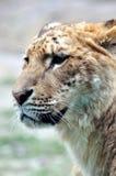 Gesicht eines weiblichen Löwes Stockfotos