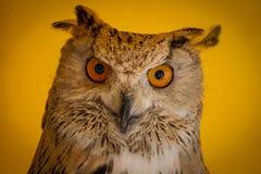 Gesicht, Uhu in einer Probe von Greifvögeln, mittelalterliche Messe Stockbild