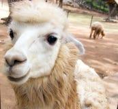 Gesicht von den Schafen lustig Lizenzfreies Stockfoto