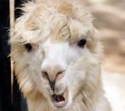 Gesicht von den Schafen lustig Lizenzfreie Stockbilder