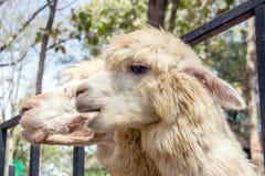 Gesicht von den Schafen lustig Stockfotografie