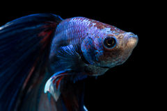 Gesicht von kämpfenden Fischen auf schwarzem Hintergrund Stockbild