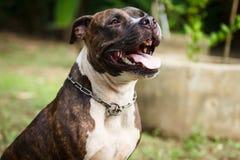 Gesicht von Pitbull-Hund lizenzfreies stockfoto