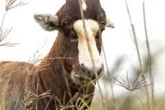 Gesicht von wildem Blesbok stehend unter hohem Gras Lizenzfreies Stockfoto