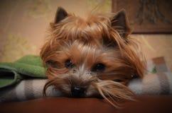 Gesicht von Yorkshire Terrier Stockbild